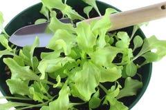 Seedlings da alface fotografia de stock