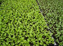 Seedlings da alface Fotos de Stock Royalty Free