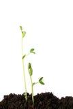 Seedlings da ervilha imagens de stock