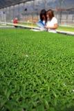 Seedlings da flor. Imagens de Stock Royalty Free