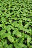 Seedlings da flor. Imagem de Stock Royalty Free