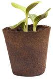 Seedlings de jardinagem da polpa do Zucchini das plantas de jardim Imagem de Stock Royalty Free