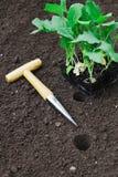 Seedlings de transplantação no jardim Fotografia de Stock Royalty Free
