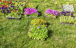 Seedlings of decorative flowers on the field stock photo