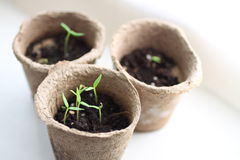 Seedlings of decorative pepper Stock Image