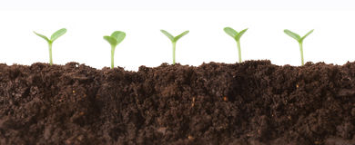 Seedlings in Dirt Profile. Several seedlings growing in dirt, profile view Stock Images
