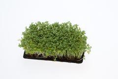Seedlings do agrião Fotografia de Stock