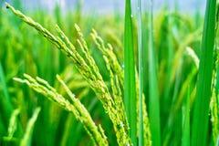 Seedlings do arroz Foto de Stock Royalty Free