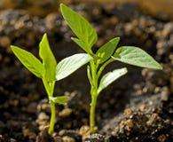 Seedlings do capsicum fotos de stock