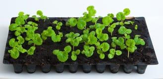 Seedlings do pelargonium do gerânio Foto de Stock Royalty Free