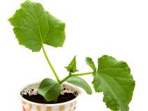 Seedlings do pepino Fotos de Stock Royalty Free