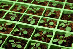 Seedlings do Petunia na bandeja da pilha (espaço da cópia) Fotografia de Stock