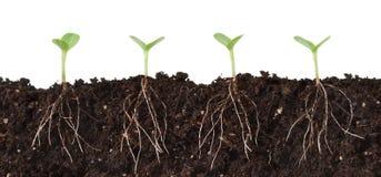 Seedlings e raizes cortantes Fotos de Stock Royalty Free