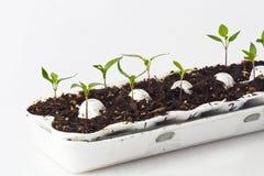 Seedlings in Egg Carton stock image