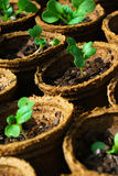 Seedlings em uns potenciômetros Fotos de Stock
