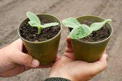 Seedlings em uns potenciômetros fotografia de stock