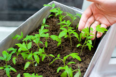 Seedlings in female hands Stock Images