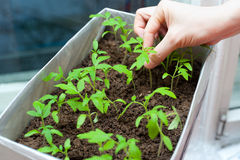 Seedlings in female hands Stock Photography