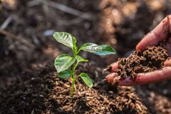 Seedlings on fertile soil.Natural care concepts and world preservation, global warming reduction. World Environment Day. The hands of a teenage boy who is taking royalty free stock photo