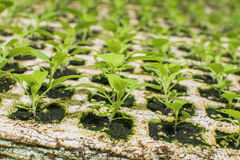 Seedlings flower in trays Stock Images