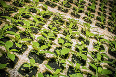 Seedlings flower in trays Stock Photography