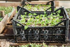 Seedlings of flowers. In a greenhouse Stock Images