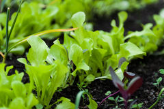 Seedlings Royalty Free Stock Images