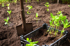 Seedlings in the garden Royalty Free Stock Photo