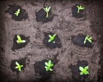 Seedlings in the garden Stock Image