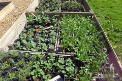 Seedlings in garden containers. Seedlings in vegetable, herb garden containers Royalty Free Stock Photo