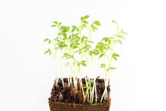 Seedlings of garden cress in peat pot Royalty Free Stock Photos