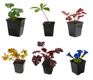 Seedlings of garden decorative plants in pots Royalty Free Stock Photos