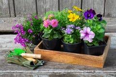Seedlings of garden plants and flowerpots of flowers. Garden equipment on wooden board. stock photos