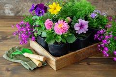 Seedlings of garden plants and flowers in flowerpots. Shovel, rake, gloves. stock photos