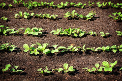 Seedlings in the garden Royalty Free Stock Image