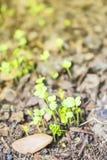 Seedlings germinate from the soil. Seedlings germinate from the soil stock photography