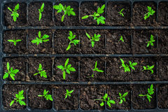 Seedlings in germination tray. Seedlings in plastic black germination tray - top view Royalty Free Stock Image