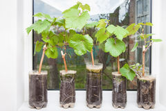 Seedlings of grapes in plastic pots Stock Photo