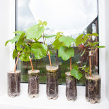 Seedlings of grapes in plastic pots Royalty Free Stock Image