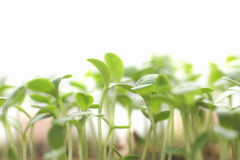 Seedlings, grass, plant  on white Royalty Free Stock Photos