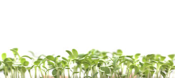 Seedlings, grass, plant  on white Royalty Free Stock Photo