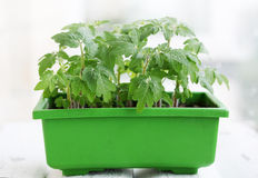 Seedlings in the green container Royalty Free Stock Photo