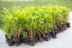 Seedlings of green shrubs in plastic pots for planting in the spring. royalty free stock photography