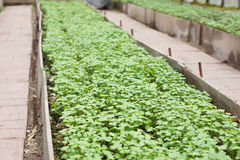 The seedlings in the greenhouse. Stock Images