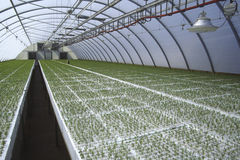 Seedlings in greenhouse Stock Photography