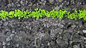 Seedlings on the ground Royalty Free Stock Image