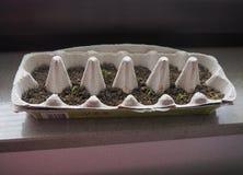 Seedlings Grow Egg Carton stock image
