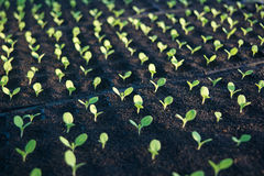 Seedlings. Growing in the ground seeds. Get ready to be planted Royalty Free Stock Photo
