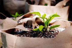 Seedlings Growing in Grow Bags Close-Up Royalty Free Stock Image