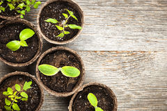 Seedlings Growing In Peat Moss Pots Stock Image